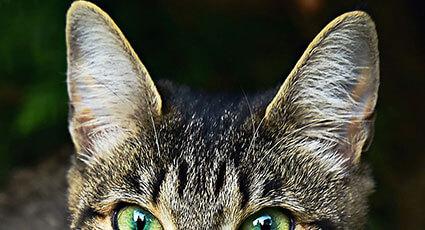 Curatarea urechii la caine si la pisica