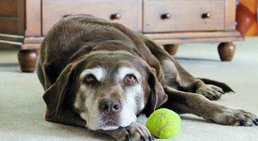 Durerea şi progresia osteoartritei la câini – managementul durerii | bekkolektiv.com